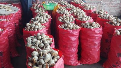 广西桂林平乐县白肉慈菇 20~30g