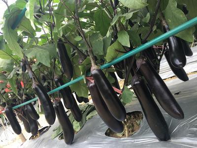 云南省昆明市嵩明县茄子种子