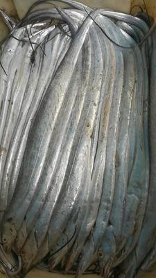 山东威海环翠区北部湾带鱼 野生 1-1.5公斤