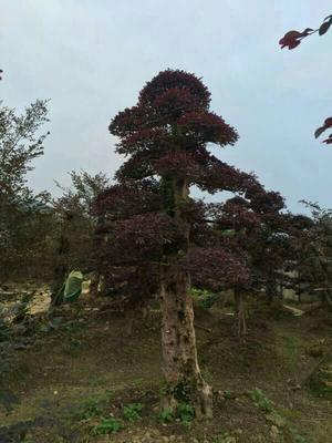 湖南长沙浏阳市造型红继木桩
