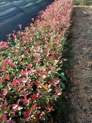湖南长沙浏阳市红叶石楠