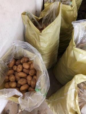 山东枣庄滕州市荷兰十五号种薯 一级种薯