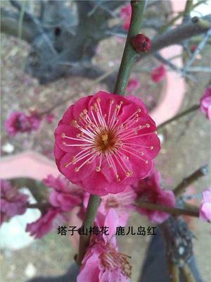 河南南阳卧龙区红梅