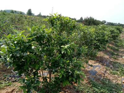 山东泰安岱岳区南高丛蓝莓苗