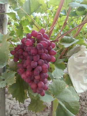 甘肃张掖甘州区克瑞森无核葡萄 5%以下 1次果 1.5- 2斤