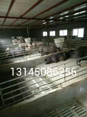 江苏宿迁沭阳县野猪苗