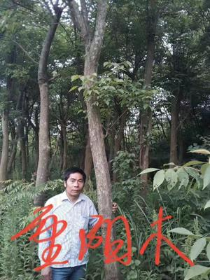 江西九江九江县重阳木