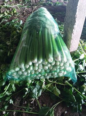 山东省济南市济阳县加州王芹菜 55~60cm 大棚种植 0.5~1.0斤