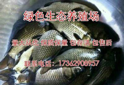 浙江温州文成县方正银鲫 人工养殖 0.1公斤