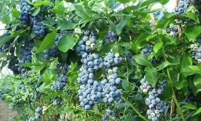 山东泰安岱岳区杜克蓝莓苗