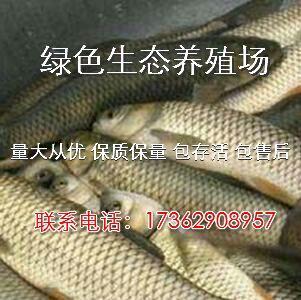 江苏扬州维扬区方正银鲫 人工养殖 0.1公斤