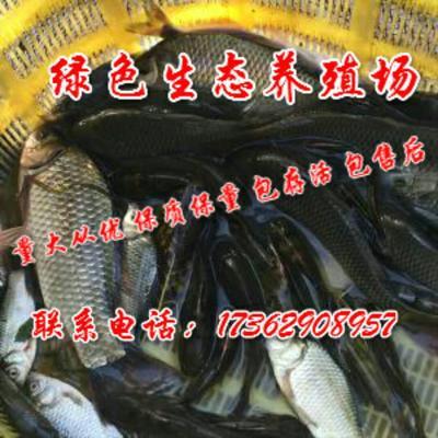 浙江衢州衢江区网箱鲫鱼 人工养殖 0.1公斤