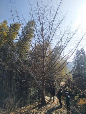 广西桂林兴安县银杏实生树
