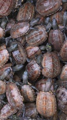 广东江门蓬江区中华草龟 10-20cm 0.5斤以下