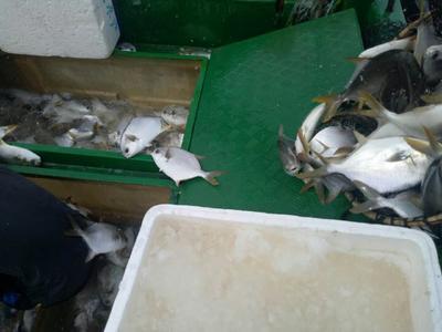 广东省湛江市麻章区金鲳鱼 人工养殖 0.5龙8国际官网官方网站以下