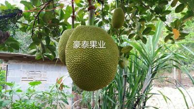云南西双版纳勐海县泰国菠萝蜜 15斤以上