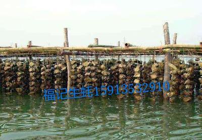 广东湛江坡头区湛江牡蛎 人工殖养 5-10只/公斤
