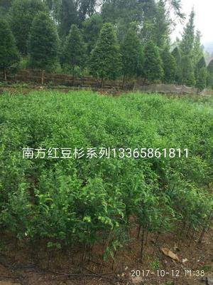 湖南永州东安县南方红豆杉 3~3.5米