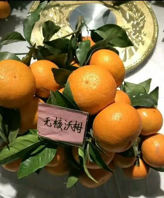 广西防城港上思县沃柑种子