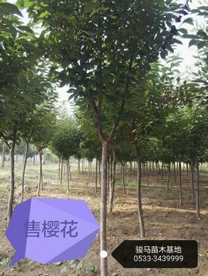 山东淄博沂源县日本红叶樱花 6~8公分 2~3米