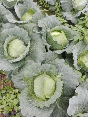 海南省儋州市儋州市莲花白包菜 2.5~3.0斤
