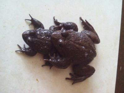 福建莆田涵江区石蛙