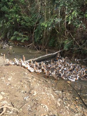 广西贺州八步区清水鸭 统货 4-5斤