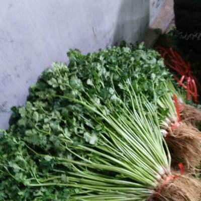 山东省潍坊市安丘市铁杆青香菜 30~35cm
