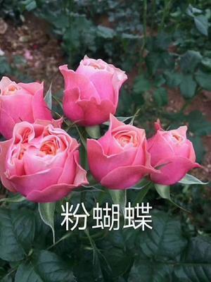 云南昆明呈贡区切花月季