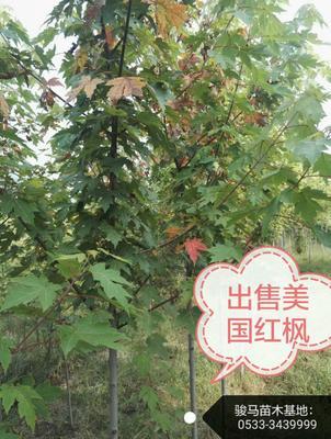 山东淄博沂源县美国红枫