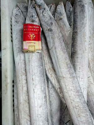 山东青岛黄岛区胶东带鱼 野生 0.5公斤以下