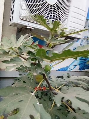 辽宁大连普兰店市126油桃 1两以上 50mm以上
