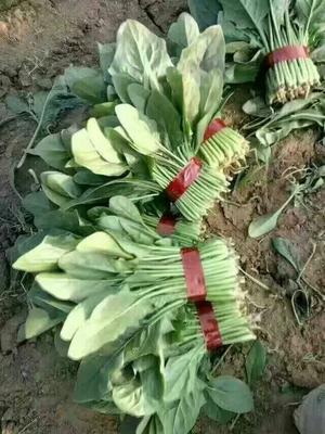 山东省滨州市惠民县黑叶菠菜 15~20cm