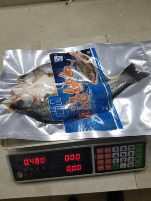 湖南岳阳岳阳楼区海鲈鱼 人工养殖 0.5公斤以下