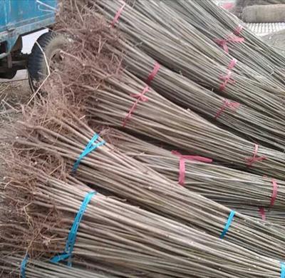 山东泰安岱岳区红油香椿苗 0.6公分