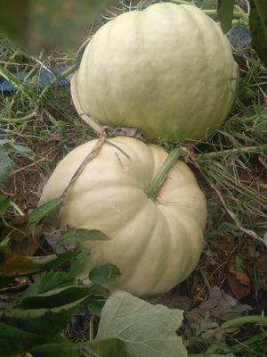 山东青岛平度市蜜本南瓜种子 95%
