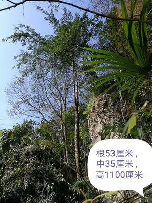 贵州黔南都匀市野生红豆杉 11.0米