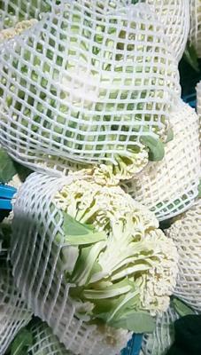 浙江温州瑞安市白面青梗松花菜 适中 2~3斤 乳白