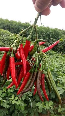 河南商丘睢阳区新一代辣椒种子 95%以上 杂交种
