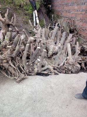 四川省达州市万源市黄心腊梅 0.5~1米