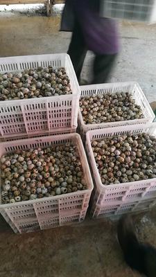 浙江省杭州市萧山区白羽鹌鹑蛋 食用 箱装