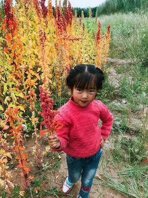 青海海西都兰县三色藜麦