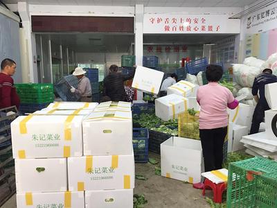 广东省汕头市澄海区球生菜 1斤以上