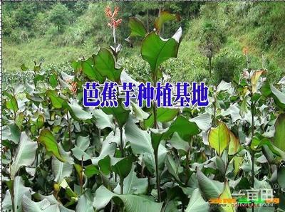 贵州黔西兴义市芭蕉芋 6cm以上