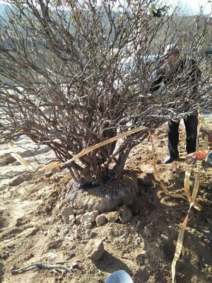甘肃临夏广河县白牧丹树 14~16cm 16~18cm 2.5~3米