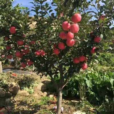 山东泰安岱岳区红星苹果树苗 1~1.5米