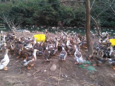 广西桂林全州县麻鸭 统货 4-5斤