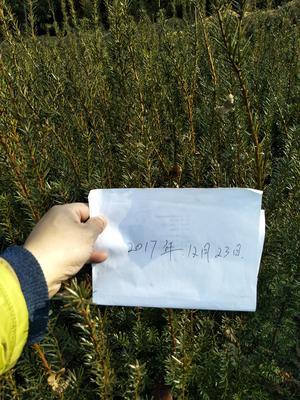 四川绵阳安县曼地亚红豆杉 0.5~1米