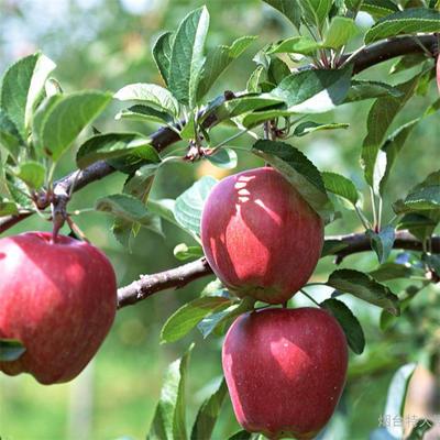 山东泰安岱岳区蛇果苹果苗 1~1.5米