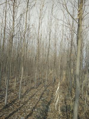 河南商丘虞城县小叶白蜡树 3~3.5米